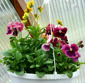 Green House Pansies