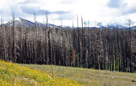 Fire Ravaged Lodgepole Pine